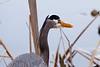 Great Blue Heron is fishing in Juanita Park, Kirkland, WA