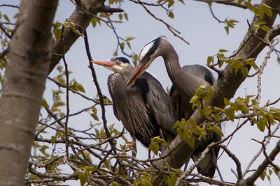Great Blue Heron, Nest