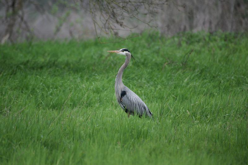 Gt Blue Heron1
