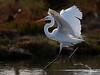 The Ballerina.  A great egret runs across the water
