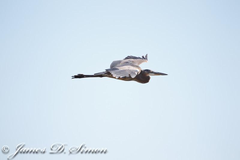 Heron great blue flight-0395