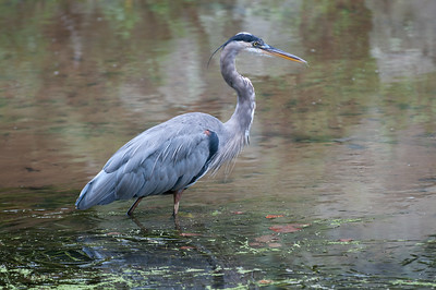 This heron was following little fish up the canal.  He didn't seem to care that I was on the water's edge on the other side because when the little fish swam towards me and I moved, the little fish swam back towards the heron.  I really thought this would be a good opportunity to get a fish capture image, but alas it was not to be...