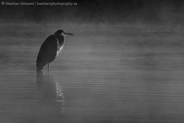 Heron in the Mist