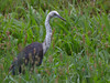 White-necked Heron
