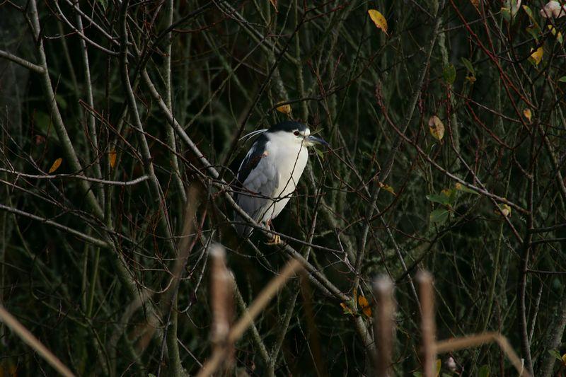 Night Heron (7)