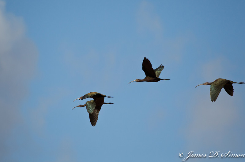 White-faced Ibis-16
