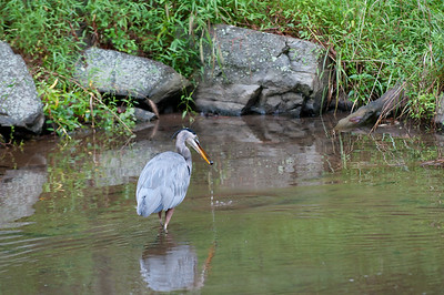 This heron was following little fish up the canal.  He didn't seem to care that I was on the water's edge on the other side because when the little fish swam towards me and I moved, the little fish swam back towards the heron.  I really thought this would be a good opportunity to get a fish capture image, but alas it was not to be... This time he caught a little mussel.