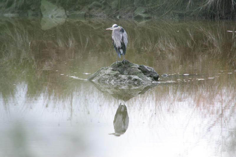 grt blue heron (6)
