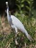 Egret Lizard-