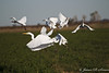 Egrets-