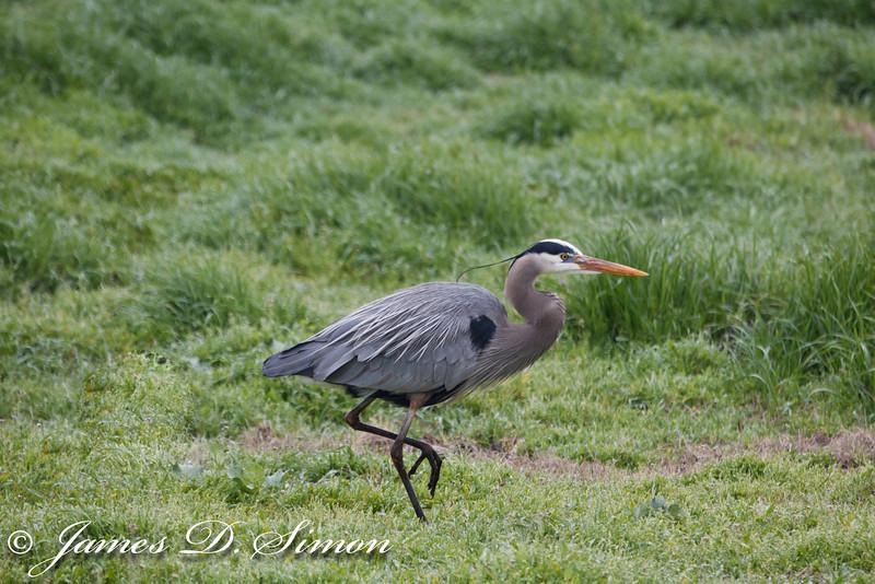 Blue Heron-3059