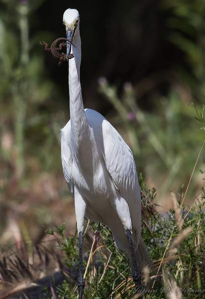 Egret Lizard-6299-Edit