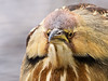American Bittern (Botaurus lentiginosus)
