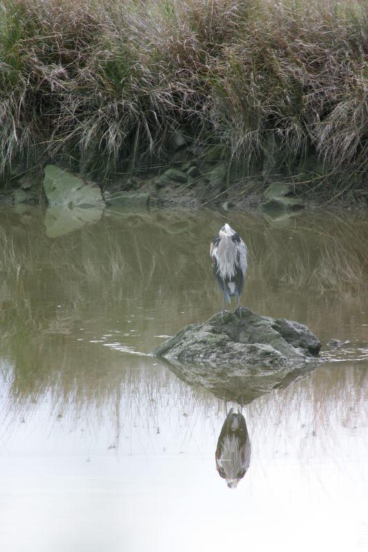 grt blue heron (7)