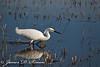 Snowy Egret Wading, Vic Fazio Yolo Wildlife Area