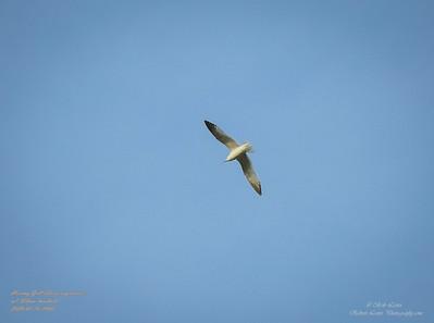 P1160035_ Gull