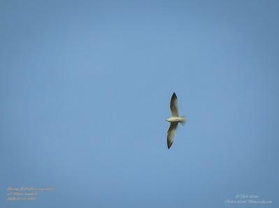 P1160033_ Gull