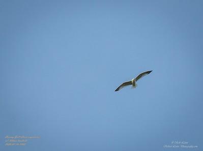 P1160034_ Gull