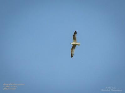 P1160037_ Gull
