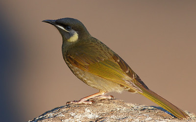 Honeyeaters, Thornbills and Silvereyes