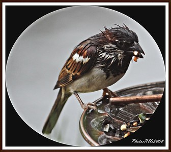 20110117-IMG_8762House Sparrow