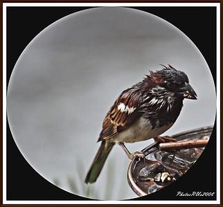 20110117-IMG_8776House Sparrow