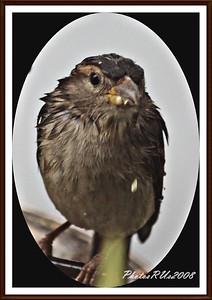 20110117-IMG_8796House Sparrow