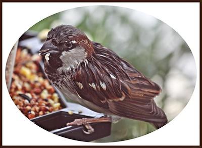 20110117-IMG_8803House Sparrow