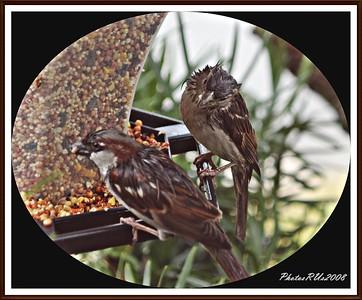 20110117-IMG_8810House Sparrow