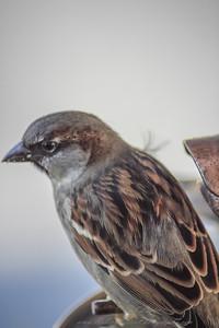 2010-12-14__0084_house sparrow
