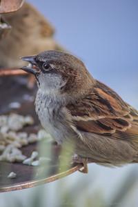 2010-12-14__0007_house sparrow