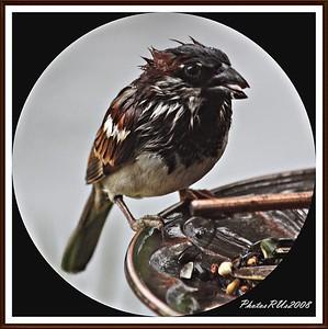 20110117-IMG_8766House Sparrow-1
