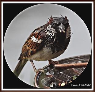 20110117-IMG_8770House Sparrow-1