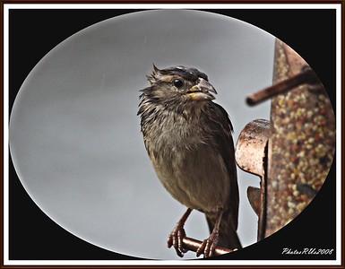 20110117-IMG_8781House Sparrow