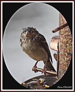 20110117-IMG_8791House Sparrow
