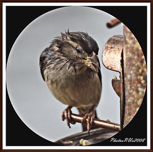 20110117-IMG_8789House Sparrow