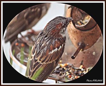 20110117-IMG_8757House Sparrow-1