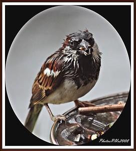20110117-IMG_8772House Sparrow-1
