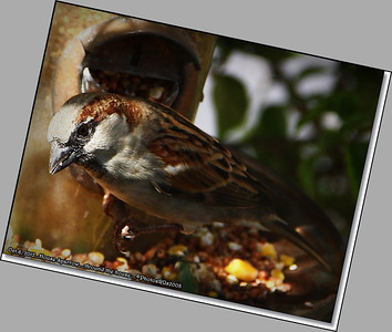 Oct  6 2012  House Sparrow  Clearwater,Fl  _IMG_6430_