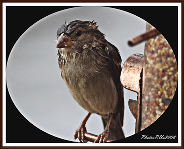 20110117-IMG_8782House Sparrow