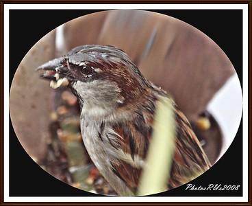 20110117-IMG_8756House Sparrow-1