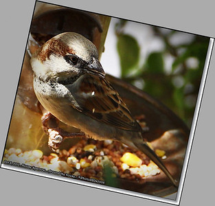 Oct  6 2012  House Sparrow  Clearwater,Fl  _IMG_6426_