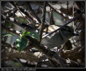 House Sparrow...Mar 29,2013...©PhotosRUs2008