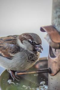 2010-12-14__0066_house sparrow