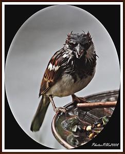 20110117-IMG_8767House Sparrow