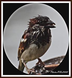20110117-IMG_8760House Sparrow