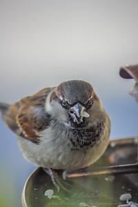 2010-12-14__0070_house sparrow