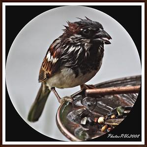 20110117-IMG_8766House Sparrow