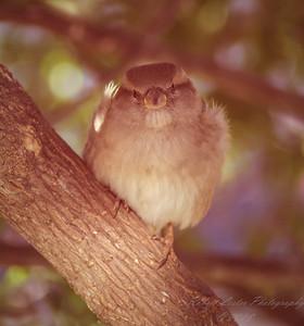 House Sparrow 2010-12-09-