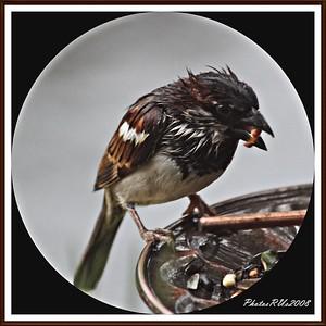 20110117-IMG_8761House Sparrow